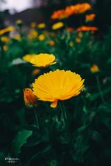 R0000005 (BTSEphoto) Tags: ricoh gr iii griii gr3 3 imaging company ltd park spring flower macro photography daisy gazania linearis treasure bokeh bokehlicious