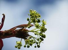Ahorn (hussi48) Tags: ahorn himmel knospen frühling tree baum crazytuesday trees