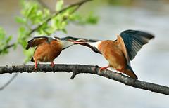 ijsvogel Common Kingfisher (Rob Keulemans) Tags: 2019 ijsvogel nederland wild copyright rob keulemans visoverdarcht