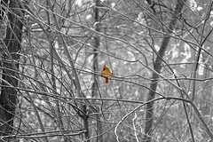 IMG_2826_color_bw (Jeffrey Terranova) Tags: canon rebelt6 avenel nj newjersey backyard wildlife cardinal