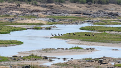 A committee of vultures having a clean up in the Olifants river (claudia@flickr) Tags: africa animals krugernationalpark southafrica birds vultures