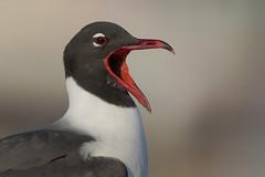 Laughing Gull (Greg Lavaty Photography) Tags: laughinggull leucophaeusatricilla texas april galveston ferry galvestoncounty outdoors bird nature wildlife