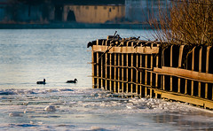 Open Water Swim (Neil Cornwall) Tags: 2019 canada detroit detroitriver march ontario queenspark windsor ice riverfront water winter sandwich duck river