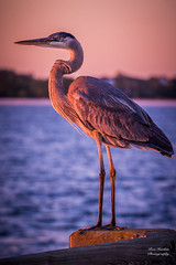 """Heron Sittin' (Thanks for 1,000,000+ views) Tags: pier fishing landscape """"full frame"""" fx outdoor f28 70200mm d750 nikon copyright color vibrant yellow red black blue orange lightroom diffused light sunshine shade natural depth field pictures summer 2018 escape """"natural light"""" photographer golden hour travel sun sand water sky nature classic sunset clouds beach ocean atlantic sea seawater gorgeous sunny nikkor heron pensacola fl"""
