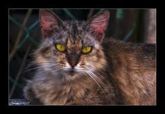 Cat (VERODAR) Tags: cat stray eyes nikon verodar veronicasridar