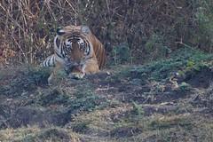 Licking her wounds (Nagarjun) Tags: nagarholenationalreserve riverkabini tiger tigress bigcat animal wildlife safari