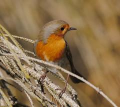 P1860744-Rotkehlchen-1 (Bine&Minka2007) Tags: robin singvögel rotkehlchen songbirds singvogel bird vögel vogel leica100400 gx8 wald forest