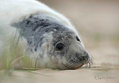 Grey Seal (Nigel Hodson) Tags: canon 1dxmkii 600mmf4ii seal sealpup greyseal norfolk nature naturephotography wildlife wildlifephotography coast