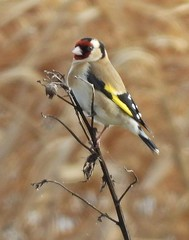 GOLDFINCH IN REEDS 20'3.2019