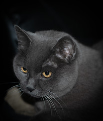 The Dark Knight (alessio.vallero) Tags: chartreuxcat chartreux furry cat cute kittie grey flashphotography flash