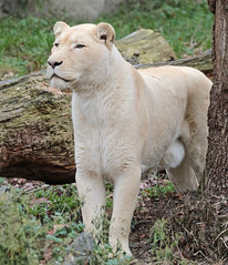 african white lion Ouwehands 094A1307 (j.a.kok) Tags: whitelion witteleeuw leeuw lion africa afrika afrikaanseleeuw africanlion afrikaansewitteleeuw africanwhitelion animal mammal zoogdier dier predator ouwehands ouwehandsdierenpark ouwehand pantheraleoleo timbavati