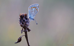 Icarus blauwtje (Wim Boon Fotografie) Tags: wimboon icarusblauwtje canon100mmf28lismacro canoneos5dmarkiii macro macrofotografie holland nederland netherlands natuur nature butterfly vlinder