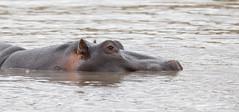 Hippo -8415 (Theo Locher) Tags: hippopotamus hippopotamusamphibius nijlpaard zoogdieren mammals zuidafrika southafrica krugernationalpark kruger copyrighttheolocher