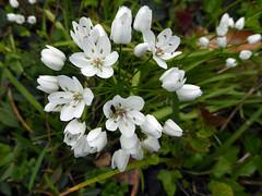 Allium neapolitanum Cirillo 1788 (AMARYLLIDACEAE). (helicongus) Tags: alliumneapolitanum allium amaryllidaceae jardínbotánicodeiturraran spain