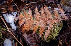 Frosty Fern (rich trinter photos) Tags: middleforksnoqualimieriver taylorriver snoqualmielaketrail fern frost trinterphotos naturalpattern minimal washington northwest winter