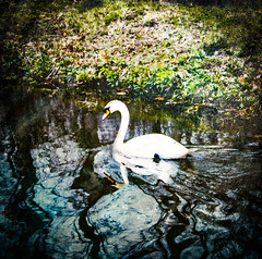 Tales of the River Bank (judy dean) Tags: judydean 2019 angleseyabbey lodestream river water swan gliding ripples lensbaby textures ps smileonsaturday watermove