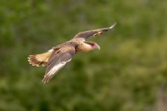 Juvenile Crested Caracara (tspine) Tags: crestedcararaca santaclararanch texas