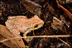 Cuban treefrog (hakoar) Tags: osteopilusseptentrionalis portrait stripes nature cubantreefrog frog northamerica brown colorful climb florida olivebrown looking leg hylidae wildlife tree fauna pattern invasive red closeup green eye amphibia animal gray lines unitedstatesofamerica us