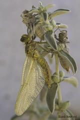 Wishing they arrive (Ricardo Menor) Tags: odonatos odonata libélulas dragonfly airelibre iluminaciónnatural elcoto elcoto2016 emergencia emergenciaorthetrumcancellatum insectos macrofotografía canon60d