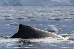 Humpback Whale (LauriNovakPhotography) Tags: icebergs swim swimming igwhale ocean antarctic sea charlottebay polar humpbackwhale whale antarctica oneocean fin nature ice whaletailigwhaleoceantaillightcharlottebayglacierhumpbackwhale tamron100400