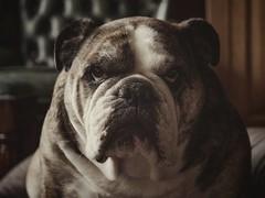 Goodmorning (J.C. Moyer) Tags: lumixgx80 gx80 lumix panasonic morning saturdaymorning saturday rustic cute pet dog britishbulldog englishbulldog bulldog mollythebulldog