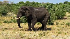 Botswana Elephant walking (h0n3yb33z) Tags: botswana animals wildlife elephant chobenationalpark africa