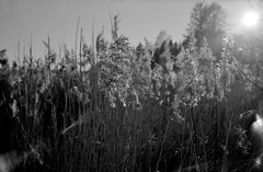 Spring in the reed No1 (cotnari73) Tags: kentmere100 d76 mju2