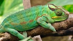 Chamäleon (Sanseira) Tags: zoo augsburg chamäleon tropenhalle