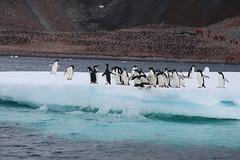 IMG_3568 (y.awanohara) Tags: adelie adeliepenguins penguins antarctica antarcticpeninsula wildlife january2019 icebergs ice icefloes