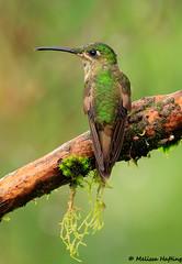 Female Fawn-breasted Brilliant (Heliodoxa rubinoides) - Cosanga, EC (bcbirdergirl) Tags: heliodoxarubinoides fawnbreastedbrilliant hummingbird cabanassanisidro sanisidrolodge cosanga ecuador southamerica
