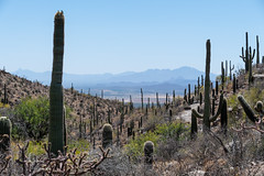View From King Canyon Trail (Serendigity) Tags: arizona saguaro usa unitedstates westtucsonmountaindistrict cactus desert nationalpark tucson unitedstatesofamerica