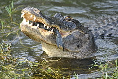 AMERICAN ALLIGATOR SNACK MOMENT (concep1941) Tags: reptils sharkvalley alligatorfamily