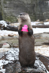 234A4535-Edit.jpg (Mark Dumont) Tags: otter teagan zoo mammal dumont river cincinnati
