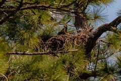 Feeding Indrio-1 (Les Greenwood Photography) Tags: eagles bird nature wild wildlife nest feeding florida local pines trees