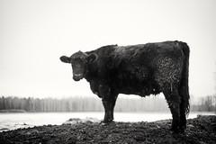 Cowspiracy (Christian törnkvist) Tags: bnw blackandwhite bw nikon d750 50mm cow animal sweden winter örebro nature