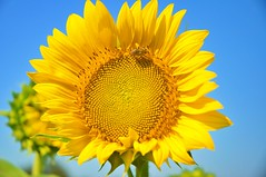 Sunflowers and Sunny Days. (Vic's_photography) Tags: summer sunny days sunflowers fun new england bees nikon d90 massachusetts nature photography art flowers