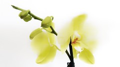 Evanescence (Luc1659) Tags: yellow flowers orchidea compleanno evanescenza natureinfocusgroup
