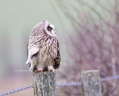 Where to next? (Alan McCluskie) Tags: shortearedowl owl owlonapost asioflammeus birdofprey predator bop birds hiboudesmarais