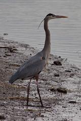 Great Blue Heron, Malibu Lagoon, CA CQ4A4120 (Hart Walter) Tags: malibulagoon legacypark royaltern brownpelican grayplover marbledgodwin