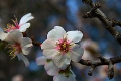Flor del almendro 2 (Rabadán Fotho) Tags: flor flores floración primavera arbolesenflor flower flowers almendros almond