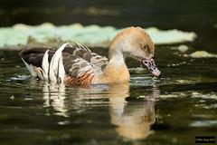 Plumed Whistling Duck (Dendrocygna eytoni) (Dave 2x) Tags: dendrocygnaeytoni dendrocygna eytoni plumedwhistlingduck plumed whistling duck whistlingduck macquarieuniversity ryde sydney nsw australia leastconcern
