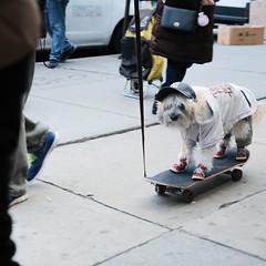 Yankee's fan (Zach K) Tags: dog skate yankees nyyankees nyc les lower east side street photography dogskateboard skateboard wheels dressed up fashion fujifilm xpro2 35mm 35mm20