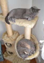 Furry Büsiness (evil king) Tags: katze kitten kätzchen kitty chill chillers cat chat pussy pussycat britishshorthair cute adorable sweet fluffy flauschig fluffball fluffig furry funny furball feline