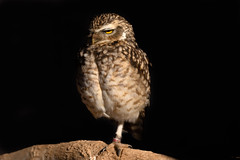 Burrowing Owl @ ICBP (microwyred) Tags: perched captive burrowingowl icbpnewent portrait