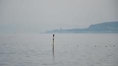 balancing cormorant (Rourkeor) Tags: argyllbute cowalpeninsula firthofclyde gourock mzuikodigitaled12‑100mm140ispro m43 omdem1markii olympus scotland uk cormorant eiderducks mft microfourthirds reflections