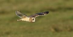 Shortie {explored} (Cosper Wosper) Tags: shortearedowl asioflammeus somerset levels owl tealham moor explored