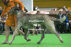 img_9999_244 (HoundPhotographer) Tags: irishwolfhound wolfhound hound crufts crufts2019 showdog dogshow