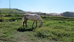 Paseando: caballo en la pradera. Alameda (Málaga) (lameato feliz) Tags: caballo pradera alameda