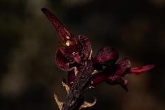 Bulbophyllum sandersonii (zimbart) Tags: malawi nyikaplateau bulbophyllumsandersonii africa angiosperms asparagales bulbophyllum flora orchidaceae monocots