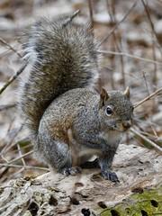 Farbach Werner (emeagen) Tags: d500 nikon greatparks farbachwerner ohio cincinnati squirrel
